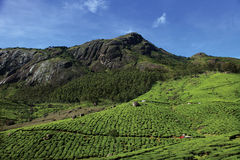 Tea Plantations of Munnar Stock Photo