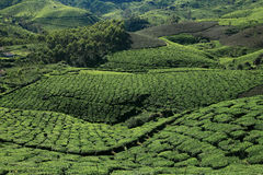 Tea Plantations of Munnar Stock Photos