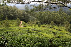 Tea Plantations, Munnar Stock Images