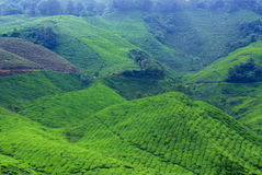 Tea plantations. ** note select focus with shallow depth of field:ideal use for background Royalty Free Stock Photos