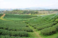 Tea plantations. ** note select focus with shallow depth of field:ideal use for background Stock Photo