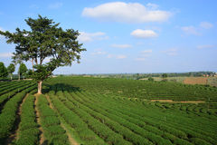 Tea plantations. ** note select focus with shallow depth of field:ideal use for background stock image