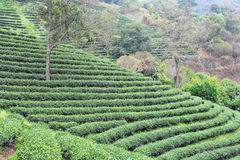 Tea plantations. ** note select focus with shallow depth of field:ideal use for background Royalty Free Stock Images