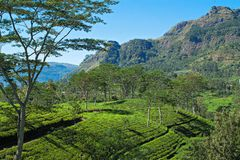 Tea plantations in Nuwara Eliya, Sri Lanka royalty free stock image