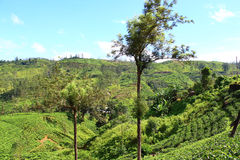 Tea plantations on the slopes of mountains Stock Image