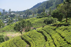 Tea plantations on the slopes of the Nuwara Elia Royalty Free Stock Photography