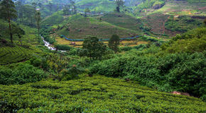 Tea plantations in Sri Lank Royalty Free Stock Photo