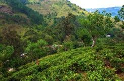 Tea plantations in Sri Lank Stock Image