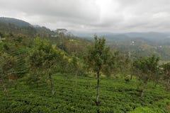 Tea plantations in Sri Lanka. A Tea plantations in Sri Lanka Royalty Free Stock Images