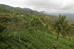 Tea plantations in Sri Lanka. A Tea plantations in Sri Lanka Stock Images