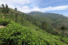 Tea plantations in Sri Lanka. A Tea plantations in Sri Lanka Stock Photos