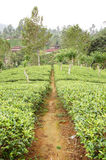 Tea-plantations in the Sri Lanka Stock Photography