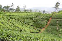 Tea-plantations in the Sri Lanka Royalty Free Stock Photos