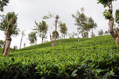 Tea-plantations in the Sri Lanka Stock Photos