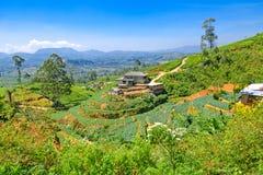 Tea plantations. In Sri Lanka royalty free stock photos