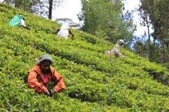 Tea plantations Sri Lanka Royalty Free Stock Photos