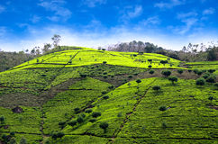 Tea plantations in sri lanka. Green tea bud and leaves. Tea plantations Royalty Free Stock Image