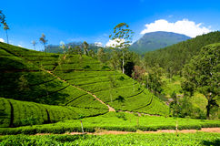 Tea plantations in sri lanka. Green tea bud and leaves. Tea plantations Stock Photography
