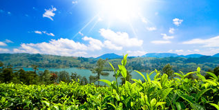 Tea plantations in sri lanka. Green tea bud and leaves. Tea plantations Stock Photos