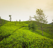 Tea plantations. Sri Lanka. Royalty Free Stock Photos