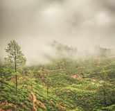 Tea plantations. Sri Lanka. Royalty Free Stock Photo