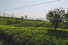 Tea plantations in Sri Lanka stock images