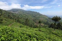 Tea plantations in Sri Lanka. A Tea plantations in Sri Lanka Royalty Free Stock Photos