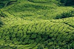 Tea plantations in state Kerala, India Royalty Free Stock Image