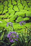 Tea plantations in state Kerala, India Royalty Free Stock Images
