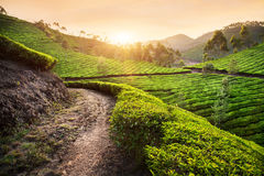 Tea plantations at sunset Royalty Free Stock Image