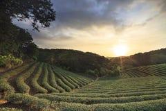 Tea plantations sunset Stock Photos