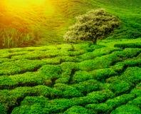 Tea plantations sunset Stock Images