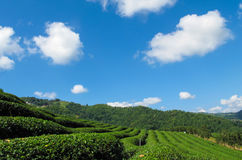 Tea plantations in Thailand. Blue sky, the large area of the garden, a green Royalty Free Stock Images