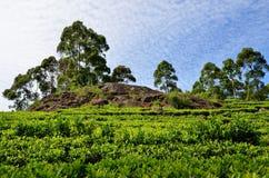 Tea plantations towards the blue sky Royalty Free Stock Image