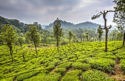Tea plantations in Valparai, India royalty free stock images