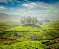 Tea plantations Stock Images
