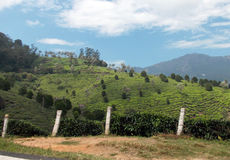 Tea plantations visible from the road. Majestic green hills with very steep terracing which creates the perfect environment for growing tea Royalty Free Stock Image