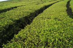 Tea plantations walini, Ciwalini, Bandung, indonesia royalty free stock photography