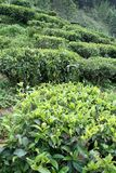 Tea Plants. Plants of tea grown on slope of mountain Royalty Free Stock Photography