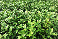 Tea plants Stock Photography