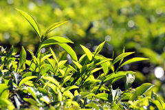 Tea plants Stock Photos