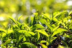 Tea plants Stock Image