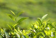 Tea plants Royalty Free Stock Photos