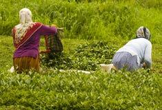 Tea plants. Turkish women working in tea plant in east Turkey Stock Image