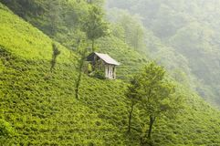 Tea Plants. On the hills of east Turkey Stock Images