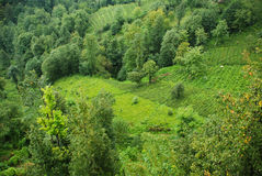 Tea Plants. In North East, Black Sea region of Turkey royalty free stock photography