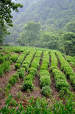 Tea plants fields Stock Photos