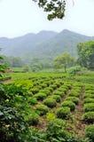 Tea Plants Fields Royalty Free Stock Image