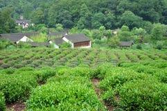 Tea Plants Fields Stock Photos