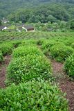 Tea plants fields Royalty Free Stock Image